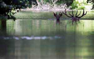 3 deer in water