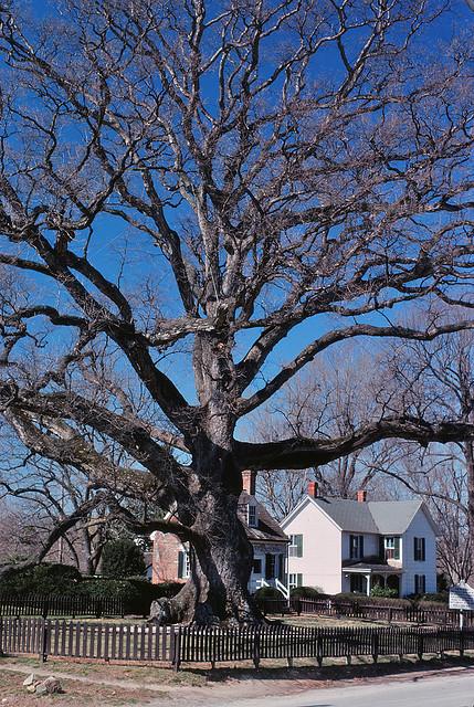 400 year old Wye Oak