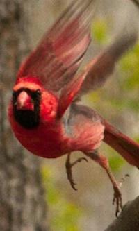 Cardinal with Attitude