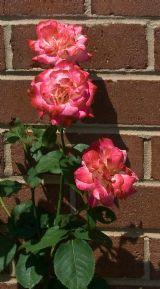 Three pink roses, white tinged