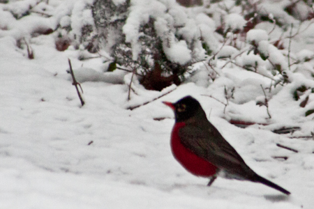 Robin in March snow