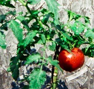 WOW tomato